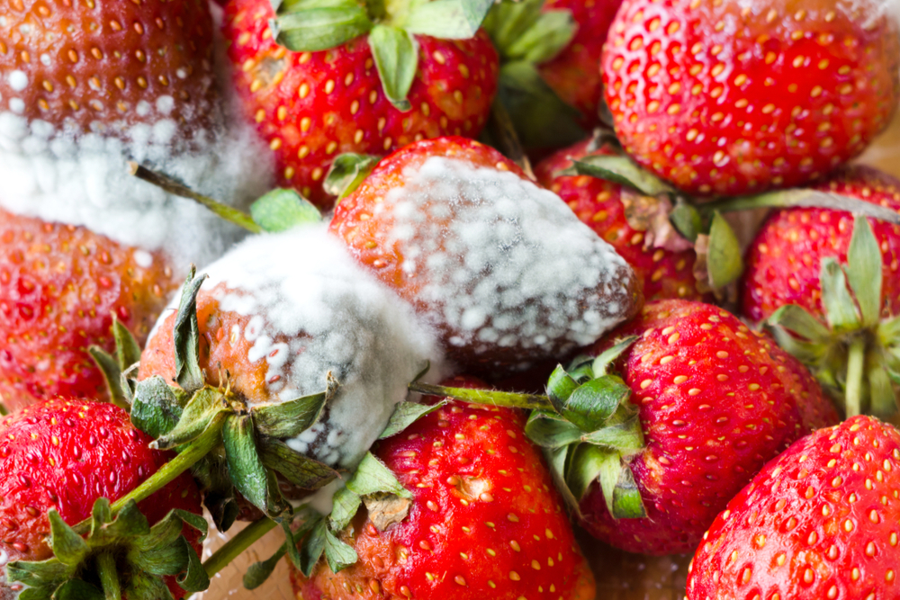 A moldy rejected load of strawberries